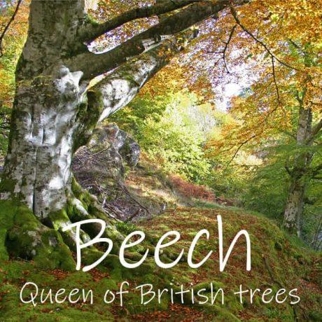 The Beech tree - Queen of British Trees
