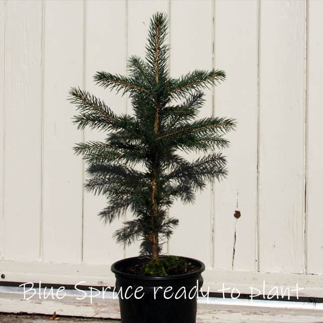 Young blue spruce in pot, a Treelover sapling