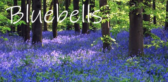 12 British bluebell bulbs to plant with a broadleaf tree grown in the UK
