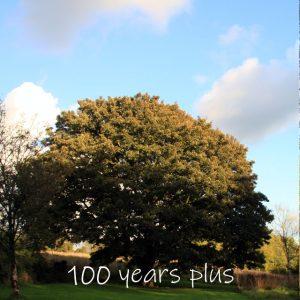 Treelover English Maple