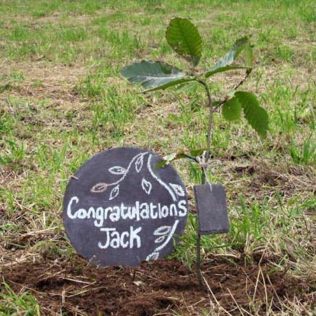Sweet chestnut tree just planted with personal message.