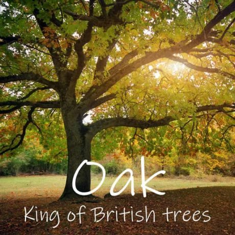 The Oak Tree - King of British Trees