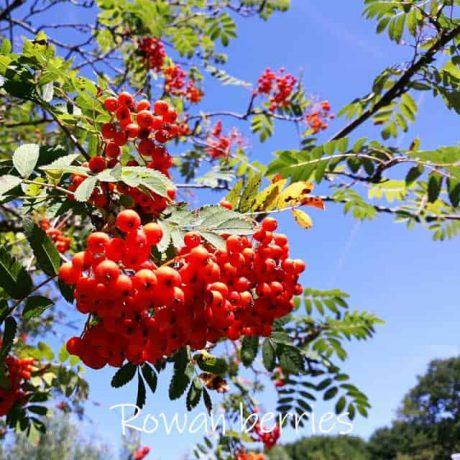 Cluster of red berries, the fruit of the Rowan tree