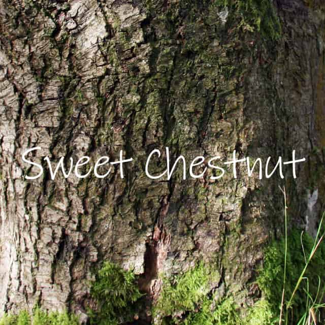 Bark of the sweet chestnut