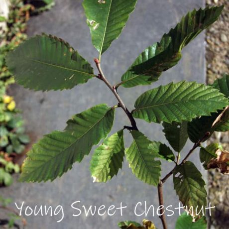 young sweet chestnut in a pot, with distinctive serrated edged leaves