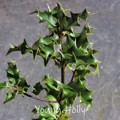 Young holly tree, a tree often found in native british woodland.