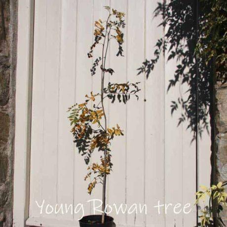 Rowan tree sapling in autumn