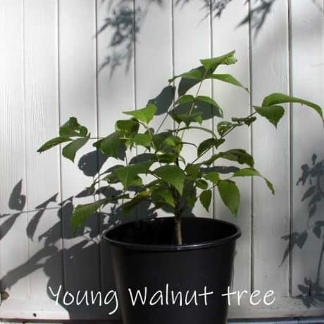 Young walnut tree in pot, a Treelover sapling