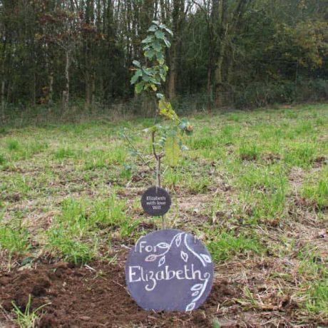 Newly planted oak tree with engraved handmade slate tree tag