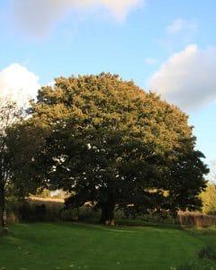 Beautiful English Maple in late summer