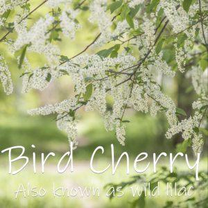 Bird Cherry - Prunus Padus